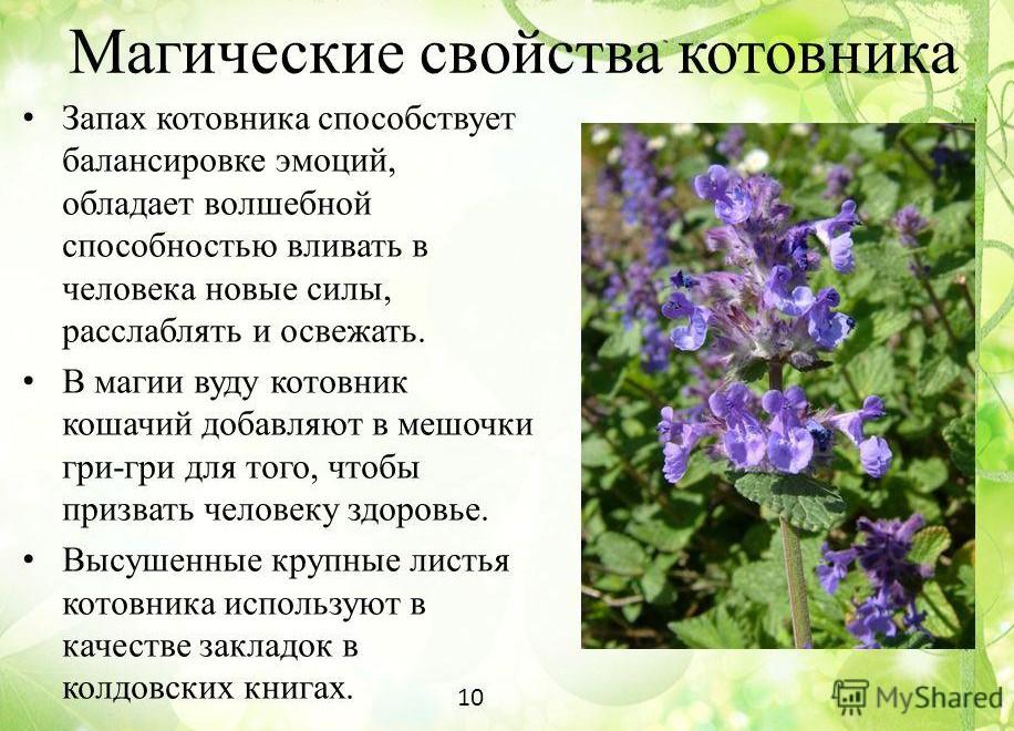 poleznyie-svoystva-kotovnika-koshachego