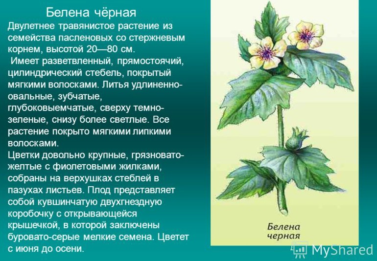 belena-lechenie