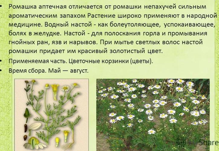 lekarstvennaya-romashka
