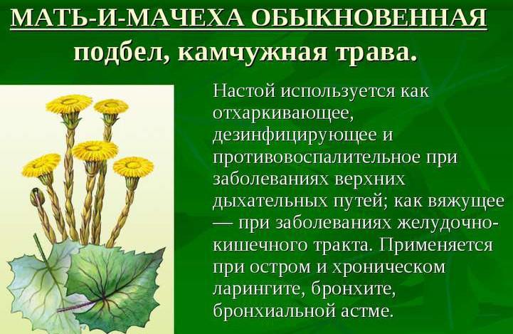 mat-i-macheha-obyiknovennaya