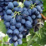 poleznyie-svoystva-vinograda