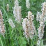 timofeevka-allergen