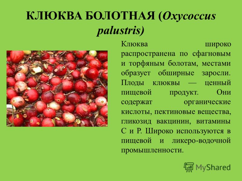 klyukva-bolotnaya