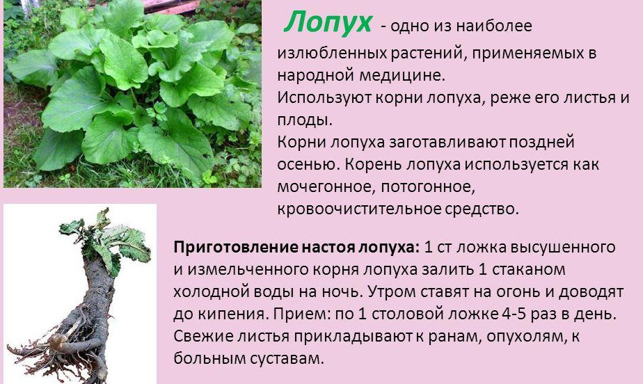 lopuh-lechebnyie-svoystva