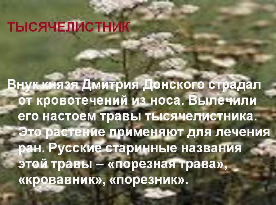 lechenie-krovotecheniy-tyisyachelistnikom